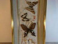 Cadre papillons sous verre - entomologie