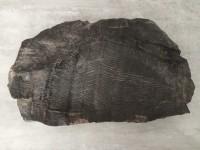 Fossile Pecopteris -- Houillère des Cévennes - Gard - France